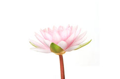 Pink lotus bloom Royalty Free Stock Photography