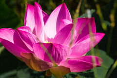 Pink lotus bloom in the morning. Pink lotus close up the morning light Royalty Free Stock Photo