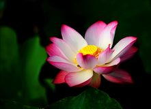 Pink Lotus in Bloom Selective Focus Photo stock photos