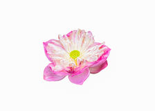 Pink lotus bloom symbol of purity Royalty Free Stock Photos