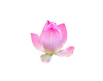 Pink lotus bloom symbol of purity Stock Photo