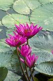 Pink Lotus blooming . Stock Photos