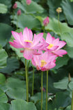 Pink lotus blooming. Pink lotus flower blooming scenery in the summer royalty free stock photos