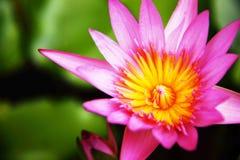 Pink lotus. Blooming in pond Stock Photos