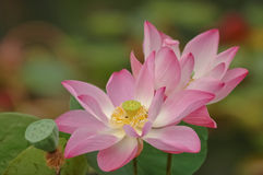 Pink lotus is blooming Royalty Free Stock Photos