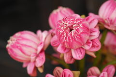 Pink Lotus Blooming Stock Photo