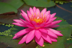 pink lotus blooming Stock Images