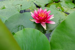 Pink lotus blooming Stock Image