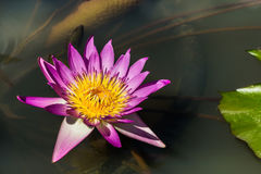 Pink lotus blooming in lake Royalty Free Stock Photo