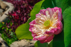 Pink lotus. A pink lotus blooming in the mid morning sun Stock Photos