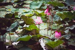 Pink lotus blooming royalty free stock photo