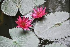 Pink lotus blooming on pond stock images