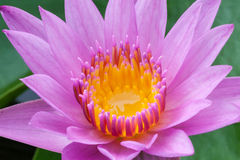 Pink lotus blooming in the tropical garden Royalty Free Stock Images