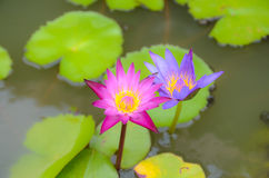 Pink lotus blooming Royalty Free Stock Photos