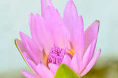Pink lotus blooming Royalty Free Stock Images