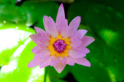 Pink lotus blooming Stock Photos