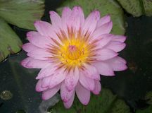 Pink lotus blooming zen flower floral Royalty Free Stock Photography