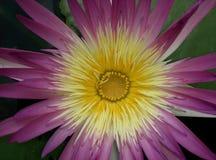 Pink lotus blooming zen flower floral Royalty Free Stock Photo