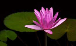 Pink lotus blossom Royalty Free Stock Photography