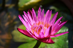 Pink lotus. Blossom beautifully in the morning sun Royalty Free Stock Image