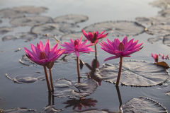 Pink lotus blossom Stock Photography