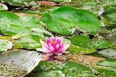 Pink lotus blossom in a pond Stock Image