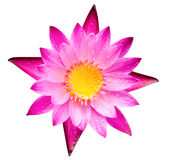 Pink lotus blossom or water lily flower blooming Stock Photography