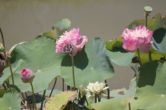 Pink lotus are blossoming. Royalty Free Stock Photography