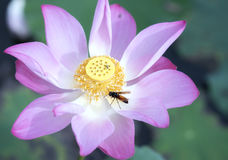 Pink lotus blossoming in the pond with bee stock images