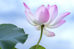 Pink lotus blossoming in the pond stock images