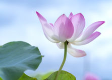 Pink lotus blossoming in the pond royalty free stock photo