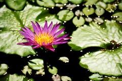 Pink lotus blossoms blooming in lake background. Pink lotus blossoms blooming on pond Stock Photography