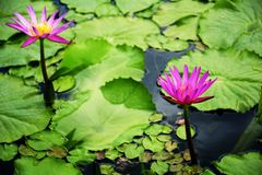 Pink lotus blossoms blooming in lake. Pink lotus blossoms blooming on pond Royalty Free Stock Images