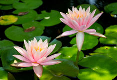 Pink lotus blossoms blooming on pond. Royalty Free Stock Photo