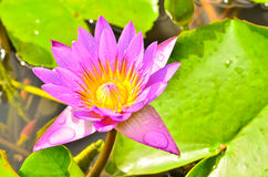 Pink lotus blossoms Royalty Free Stock Images