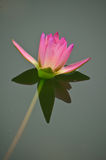 Pink lotus blossoms in the pond Royalty Free Stock Photos