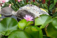 Pink lotus blossoms or water lily flowers blooming on pond in th royalty free stock images