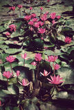 Pink lotus blossoms or water lily flowers Stock Photos