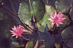 Pink lotus blossoms or water lily flowers Stock Images