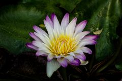 Pink lotus blossoms or water lily flowers blooming on pond Stock Photo