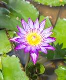 Pink lotus blossoms Stock Photo
