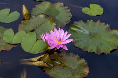 Pink lotus blossoms or water lily flowers Royalty Free Stock Image