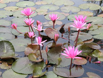 Pink lotus blossoms Stock Photography