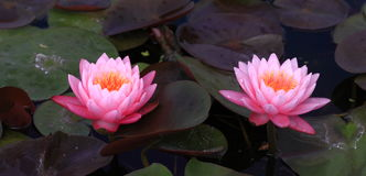 Pink lotus blossoms or water lily flowers Royalty Free Stock Photo