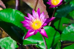 Pink lotus blossoms or water lily flowers blooming on pond,Pink Stock Image