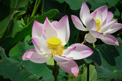 Pink lotus blossoms or water lily flowers blooming on pond. Lotus flower and Lotus flower plants Stock Photos