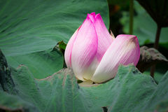 Pink lotus blossoms or water lily flowers blooming on pond. Lotus flower and Lotus flower plants Stock Photography