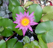 Pink lotus blossoms or water lily flowers blooming on pond Stock Images