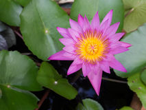 Pink lotus blossoms or water lily flowers blooming on pond Stock Photography