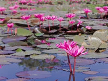 Pink lotus blossoms Royalty Free Stock Photos
